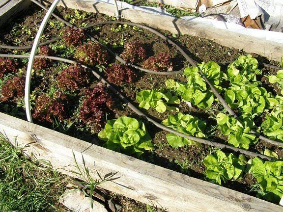 lettuces growin good