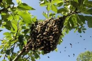 making splits and nucs for swarm prevention