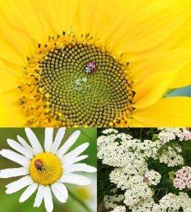 ladybug friendly flowers