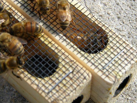 new honeybee queens
