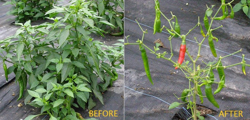 before & after tobacco hornworms