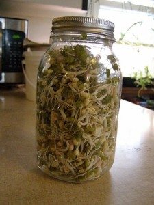 growing sprouts in a mason jar