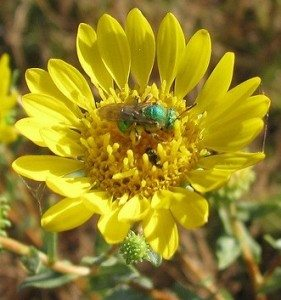 supporting native bees on farms