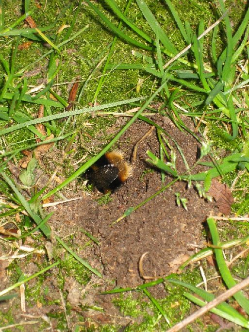 ground-nesting native bees on farms