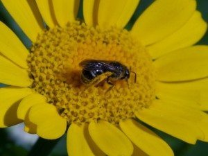 native bees on farms