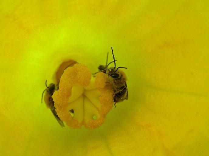 native bees help farms