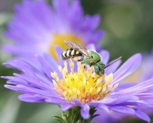 Why support native bees on your farm?