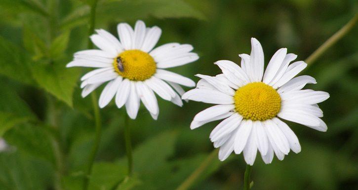 who pollinates