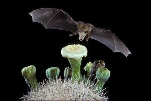 pollination by bats