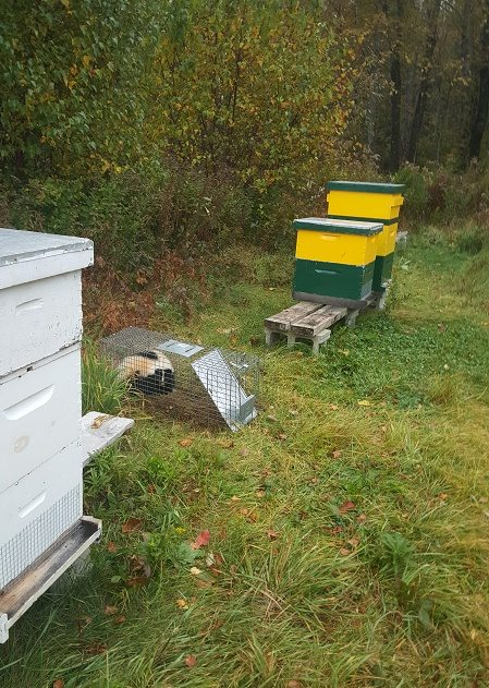 skunk in the apiary