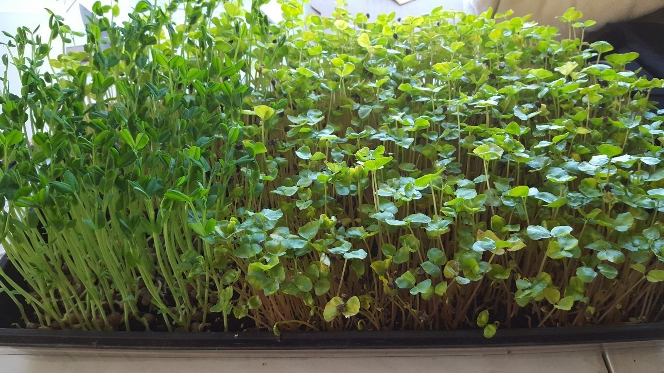 grow-your-own-shoots