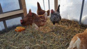 chicken-hoop-house