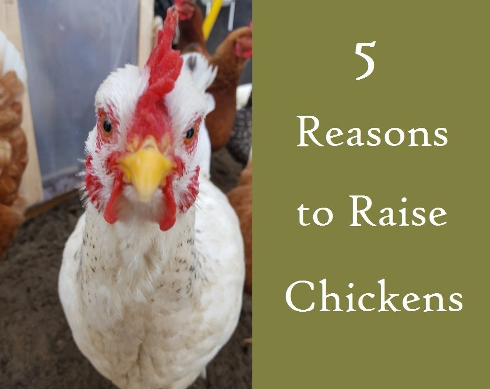 5-reasons-to-raise-chickensfi