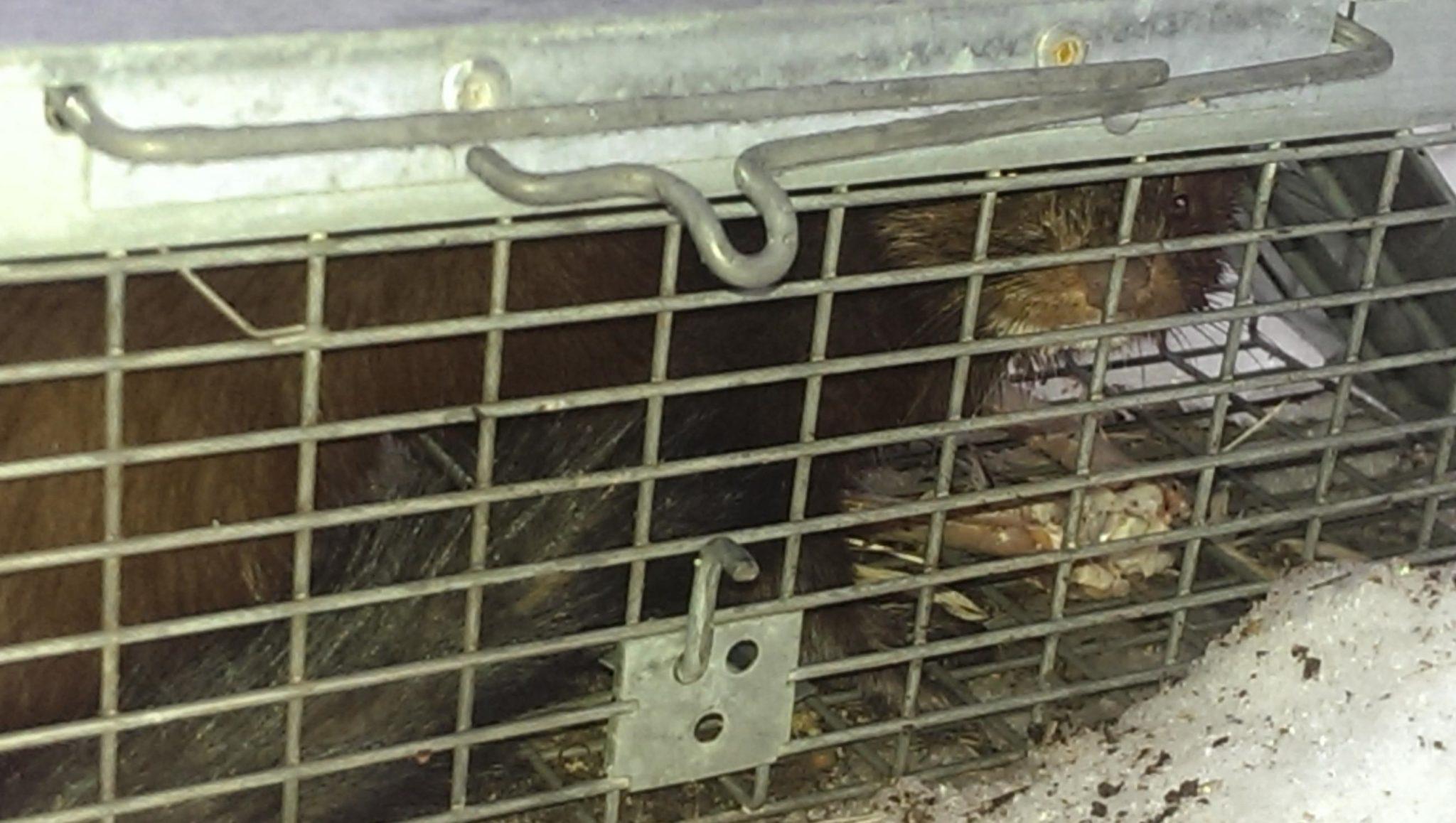 mink-in-a-trap