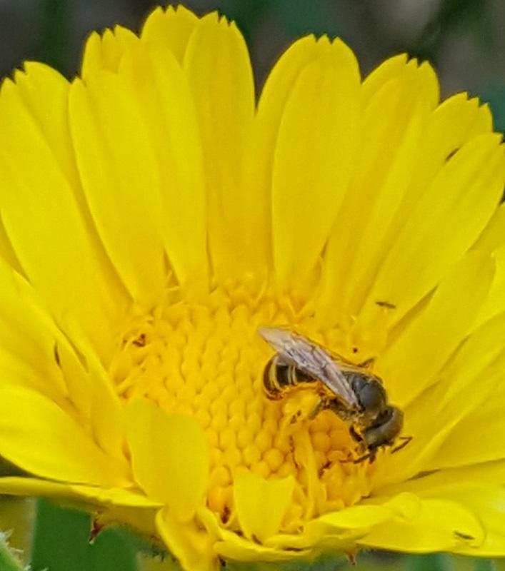 Honey Bees Keystone Species